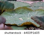 Lotus Leaf With Droplet From...