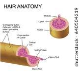 hair anatomy. | Shutterstock .eps vector #640504219