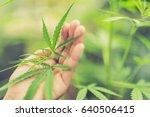 marijuana plant in hand | Shutterstock . vector #640506415