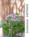 geranium fragrance  pelargonium ... | Shutterstock . vector #640704331