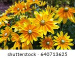 yellow and orange daisies.