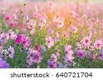cosmos flowers in the garden | Shutterstock . vector #640721704