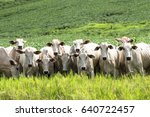 herd of nelore cattle grazing... | Shutterstock . vector #640722457