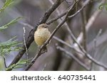 Small photo of Buff-rumped Thornbill (Acanthiza reguloides). Linton, Victoria, Australia