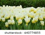 tulip field  | Shutterstock . vector #640774855