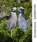 Small photo of Yellow-crowned Night Heron's
