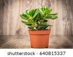 photo of crassula plant in the... | Shutterstock . vector #640815337