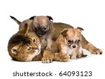 Stock photo cat and puppies of the chihuahua in studio 64093123