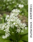 Small photo of Allium ursinum bears garlic in bloom