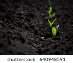 fresh green sprouts of maize in ... | Shutterstock . vector #640948591