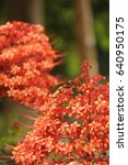 Small photo of The Red Saraca