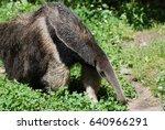 anteater on the hunt for ants... | Shutterstock . vector #640966291