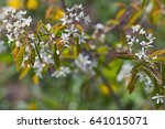 Small photo of Serviceberry blossom. Amelanchier canadensis.
