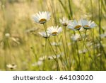Daisies In A Meadow Backlit By...