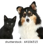 Stock photo portrait of a kitten and dog shetland sheepdog isolated on a white background 64106515