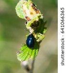Small photo of Alder leaf beetle or Agelastica alni on Black alder, Alnus glutinosa, macro, selective focus, shallow DOF.