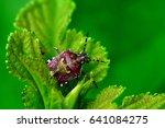 Brown Stink Bug On A Leaf