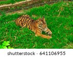 tiger at the zoo | Shutterstock . vector #641106955