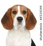 Beagle Puppy Portrait. Isolate...