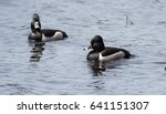Male  Drake  Ring Necked Duck ...