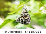 Butterfly Mating Under The...