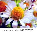 photo sun flower daisy close up | Shutterstock . vector #641237095