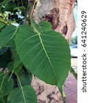 Small photo of Bo leaf with bo tree which quite feeling indeed.