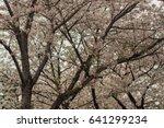 cherry blossoms flowers  korea | Shutterstock . vector #641299234