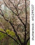 cherry blossoms flowers  korea | Shutterstock . vector #641299237