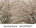 cherry blossoms flowers  korea | Shutterstock . vector #641299267