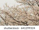 cherry blossoms flowers  korea | Shutterstock . vector #641299324