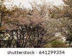 cherry blossoms flowers  korea | Shutterstock . vector #641299354
