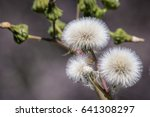 Close Up Of Sow Thistle Puff...