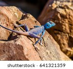 Blue Lizard From Jordan