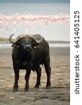 Small photo of African Buffalo at Lake Nakuru National Park, Kenya, Africa