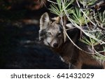 Small photo of Eastern Wolf in natural habitat in Algonquin Park