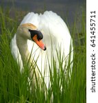swan in the grass close up | Shutterstock . vector #641455711