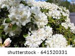 white rhododendron flowers...   Shutterstock . vector #641520331