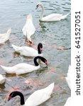 swan in the lake | Shutterstock . vector #641527051