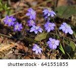 snowdrops  hepatica nobilis ... | Shutterstock . vector #641551855