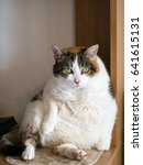 Small photo of Obese cat. Moggy. Probably thinking about food. Sat up against corner or desk!