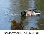 male mallard duck prinking on... | Shutterstock . vector #641633101