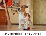 adult playful dog at home room... | Shutterstock . vector #641664454