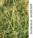 Small photo of Couch grass, wildrye or wheatgrass, Elymus pycnanthus, growing on meadows of Galicia, Spain