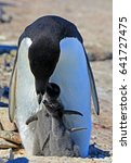 Small photo of Adelie penguin chick. Sunny day, snow. Close-up