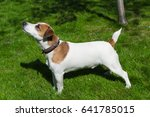 young dog stay on the grass ... | Shutterstock . vector #641785015