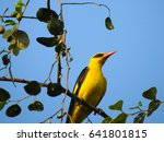Small photo of The yellow-backed oriole, Goa, India
