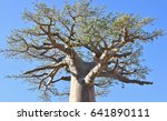 branches of baobab. avenue of... | Shutterstock . vector #641890111