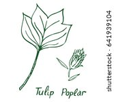 tulip poplar  liriodendron... | Shutterstock .eps vector #641939104