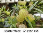 Small photo of Balloonplant (Gomphocarpus physocarpus). Called Balloon cotton-bush, Bishop's ball, Nailhead and Swan plant also,Asclepias fruticosa